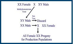 steps involved in producing an all-female strain of salmon