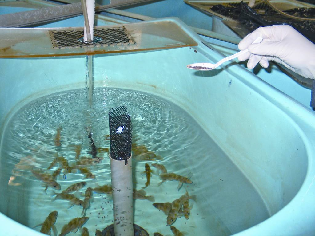 Feeding of experimental diets to juvenile rockfish.