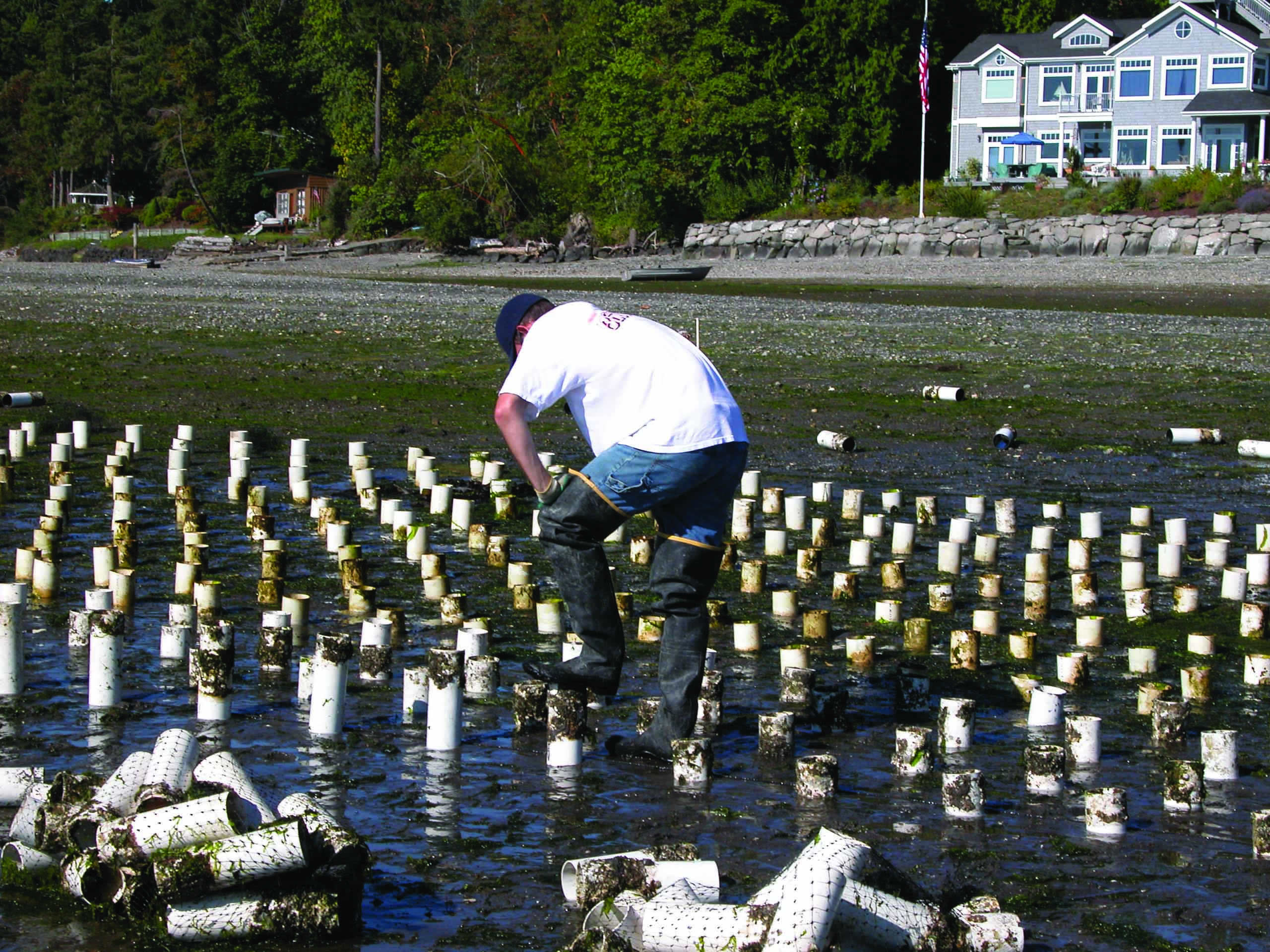 Commercial-scale, intertidal culture of Pacific Geoducks