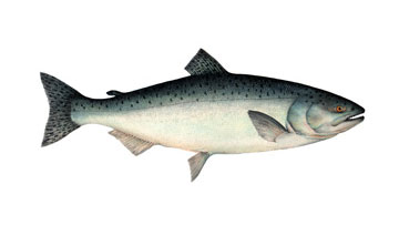 Illustration of farmed salmon