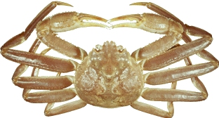 Snow crab - Newfoundland and Labrador Region