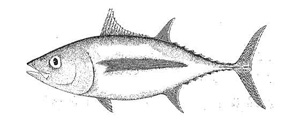 Photo of an Albacore Tuna (Thunnus alalunga)