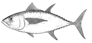 Photo of a Bigeye tuna (Thunnus obesus)