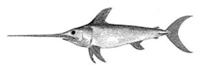 Photo of a Swordfish (Xiphias gladius)