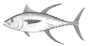 Photo of a Yellowfin tuna (Thunnus albacares)
