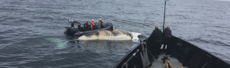 Right whale deaths in Gulf of St. Lawrence