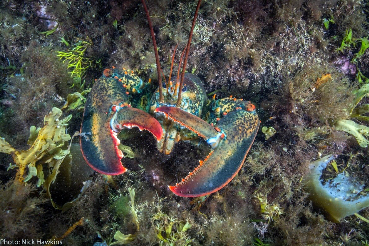 American lobster (Homarus americanus). Photo: Nick Hawkins.