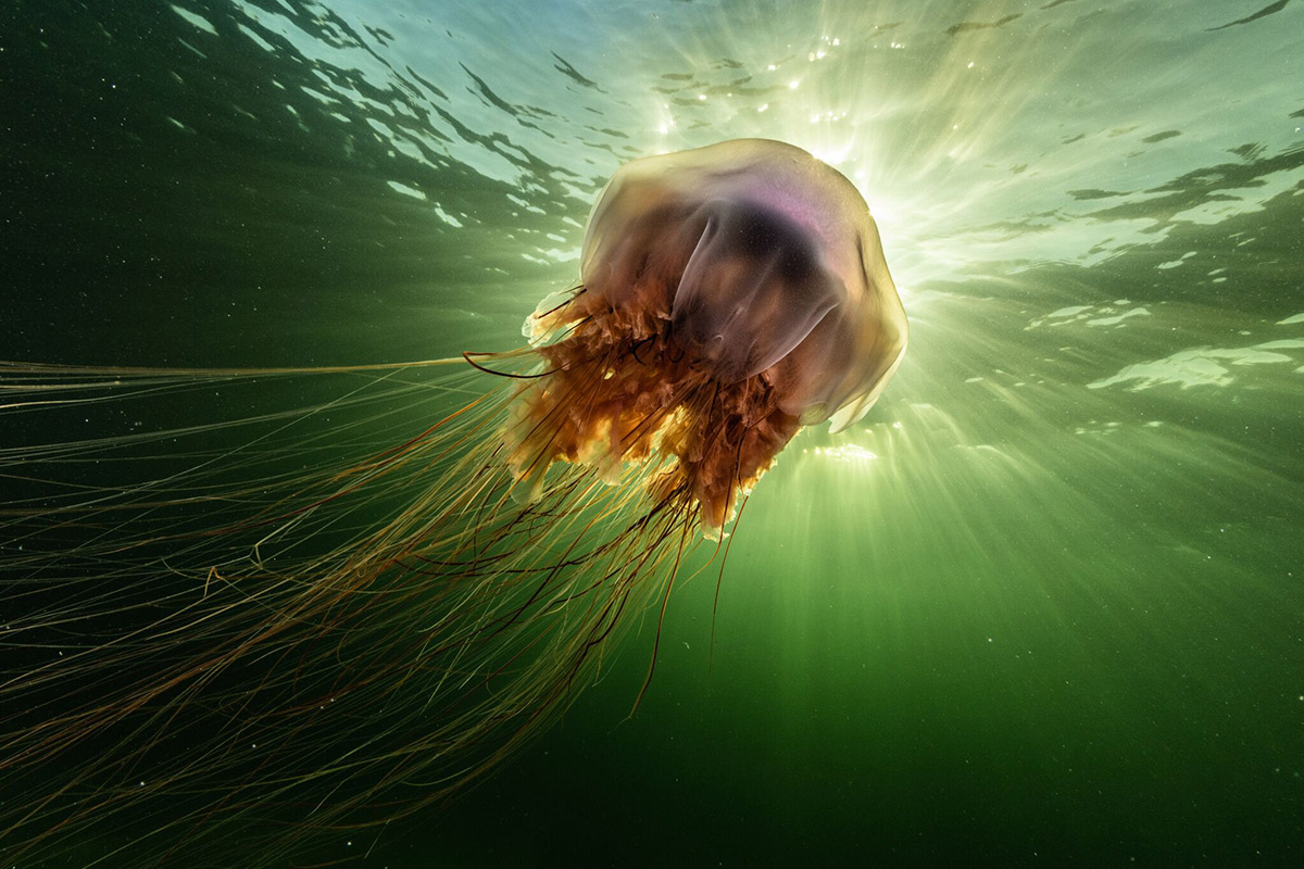 A lion's mane jellyfish (Cyanea capillata) drifts in the current off Nova Scotia, Canada. Photo: Nick Hawkins.