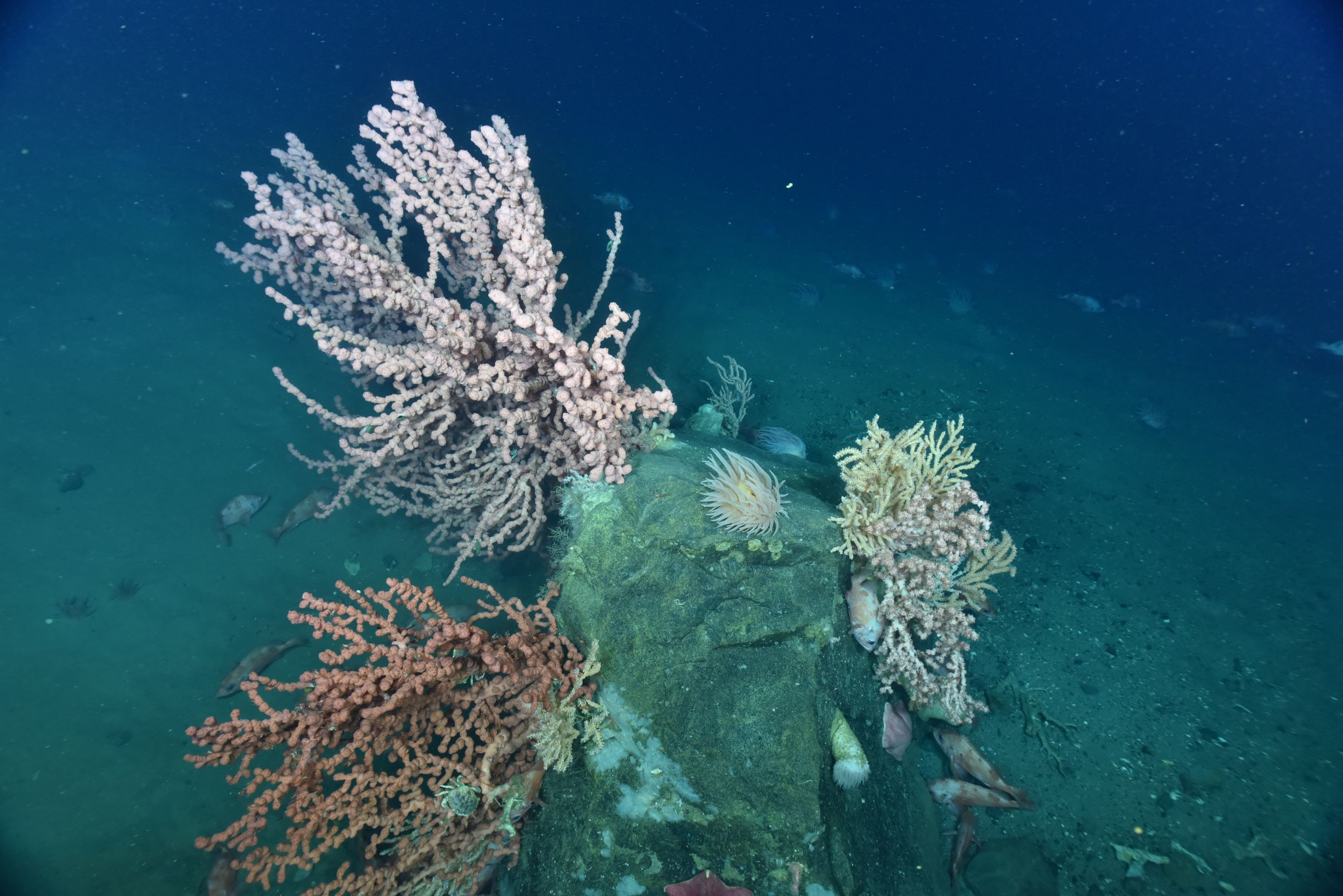Bubblegum corals, Paragorgia arborea, attract a variety of species in the Fundian Channel.