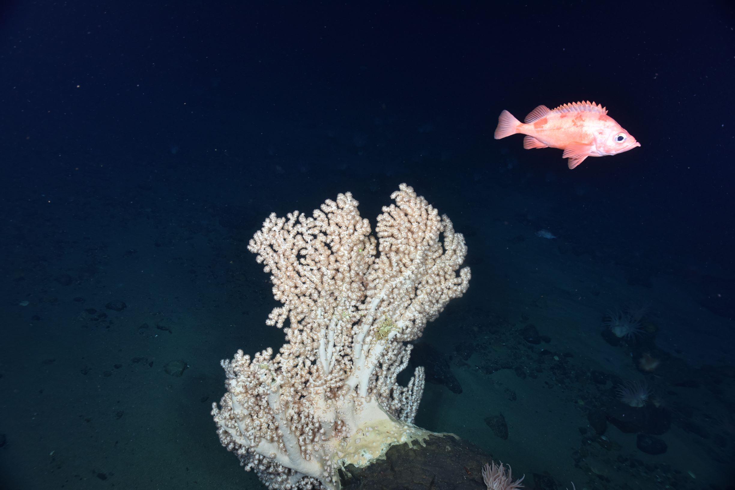 A redfish swims past Seacorn coral, Primnoa resedaeformis, in the Fundian Channel.