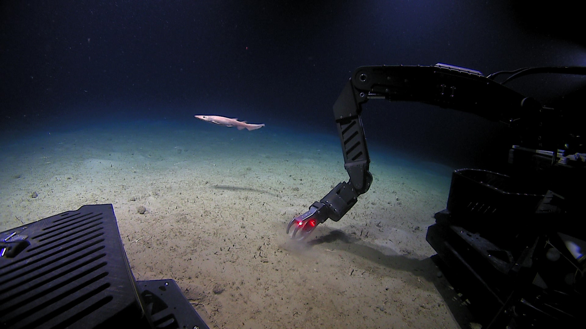 A ghost catshark, Apristurus manis, is seen swimming past the Deep Discoverer Remotely Operated Vehicle (ROV) in the Fundian Channel.