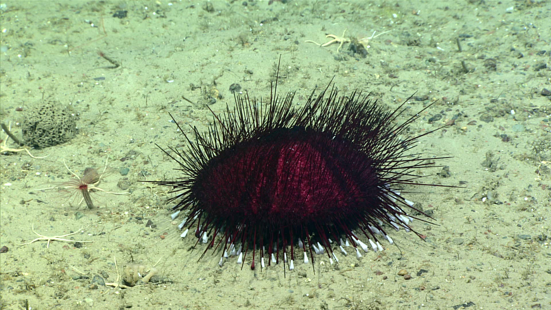 A deep sea urchin, Hygrosoma hoplacantha, amongst several sea stars.