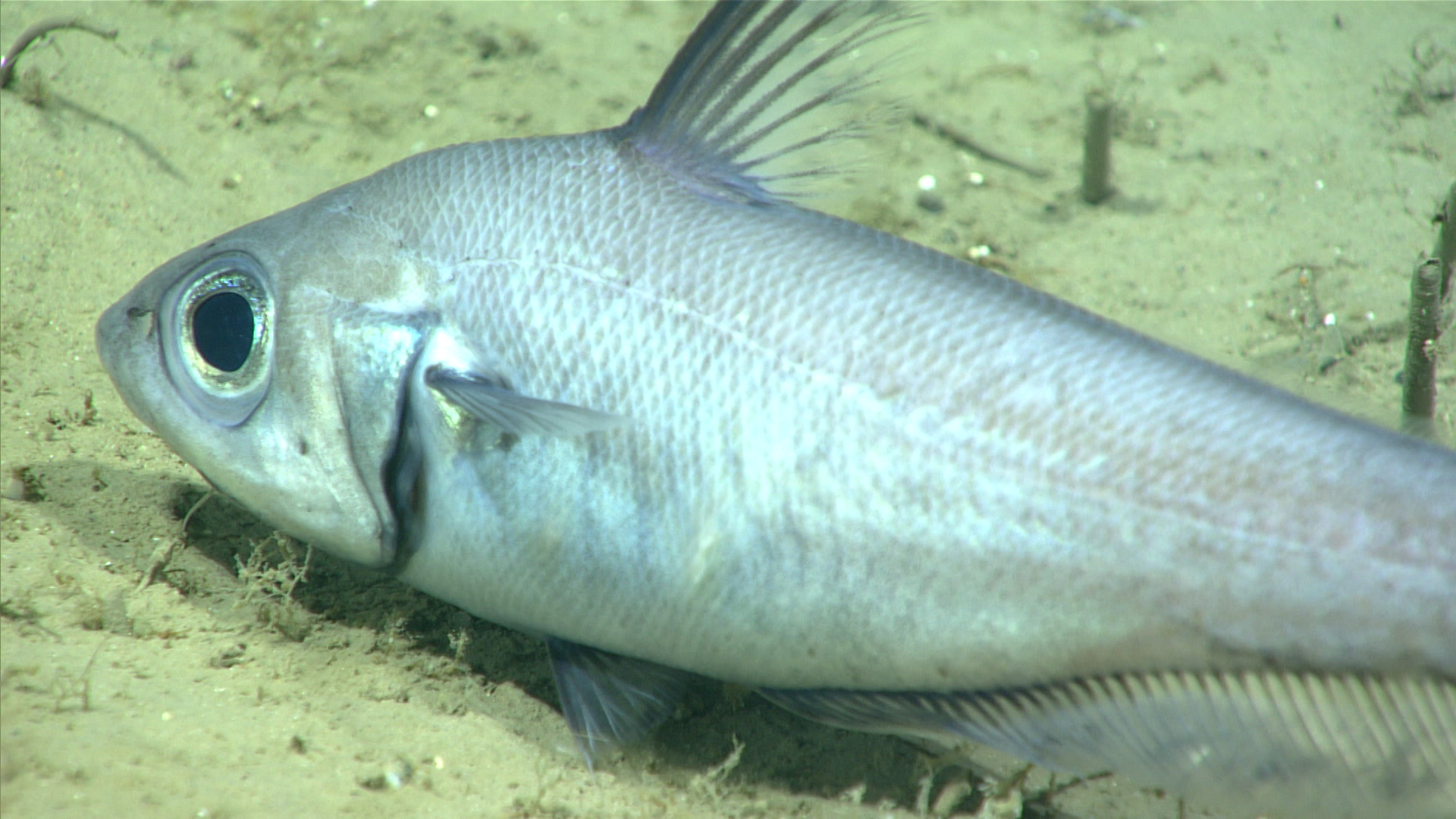 A roundnose grenadier, Coryphaenoides rupstris, rests on the seafloor in the Fundian Channel.