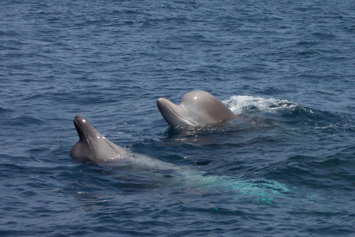 Two bottlenose whales swimming in the water. Photo Credit: Hilary Moors-Murphy