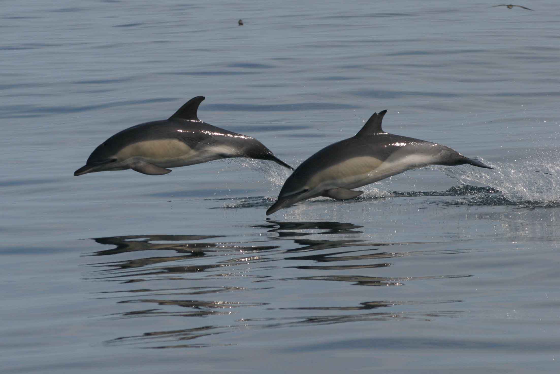 Two dolphins jumping out of the water. Photo Credit: Hilary Moors-Murphy