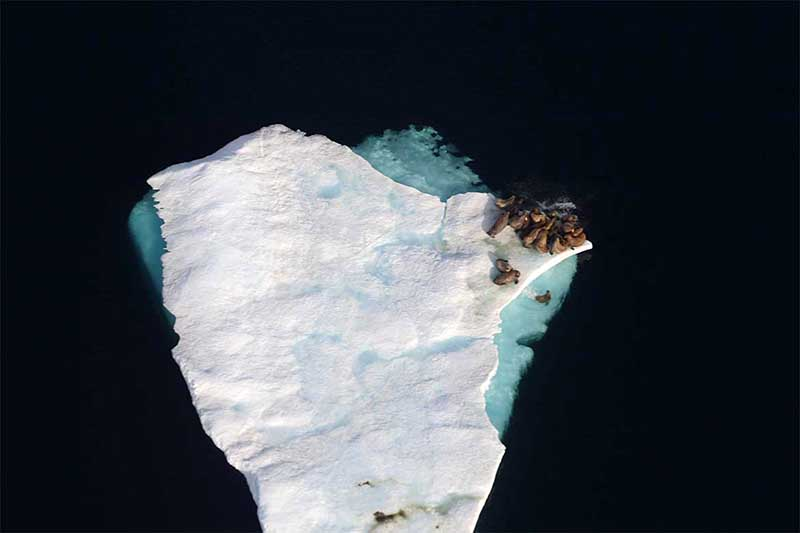 Aerial view of walrus on an ice floe in the Canadian High Arctic Copyright Blair Dunn