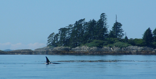 Orca in the Northern Shelf bioregion