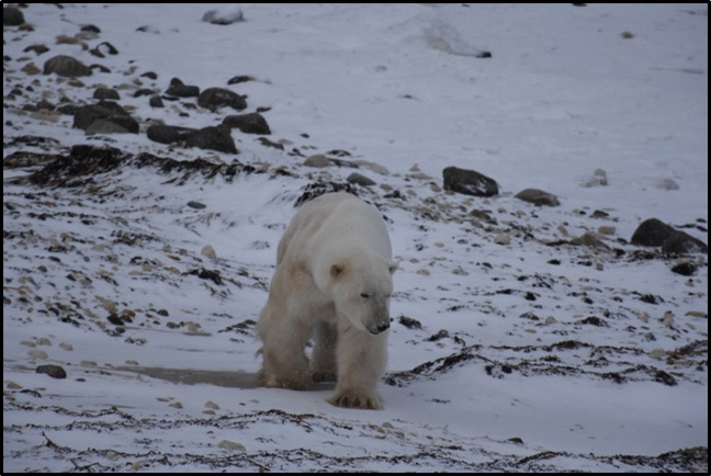 Polar bear on shoreline of Hudson Bay