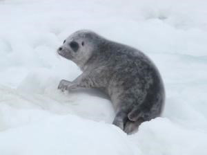 Photograph of a ringed seal pup laying on rough sea ice.