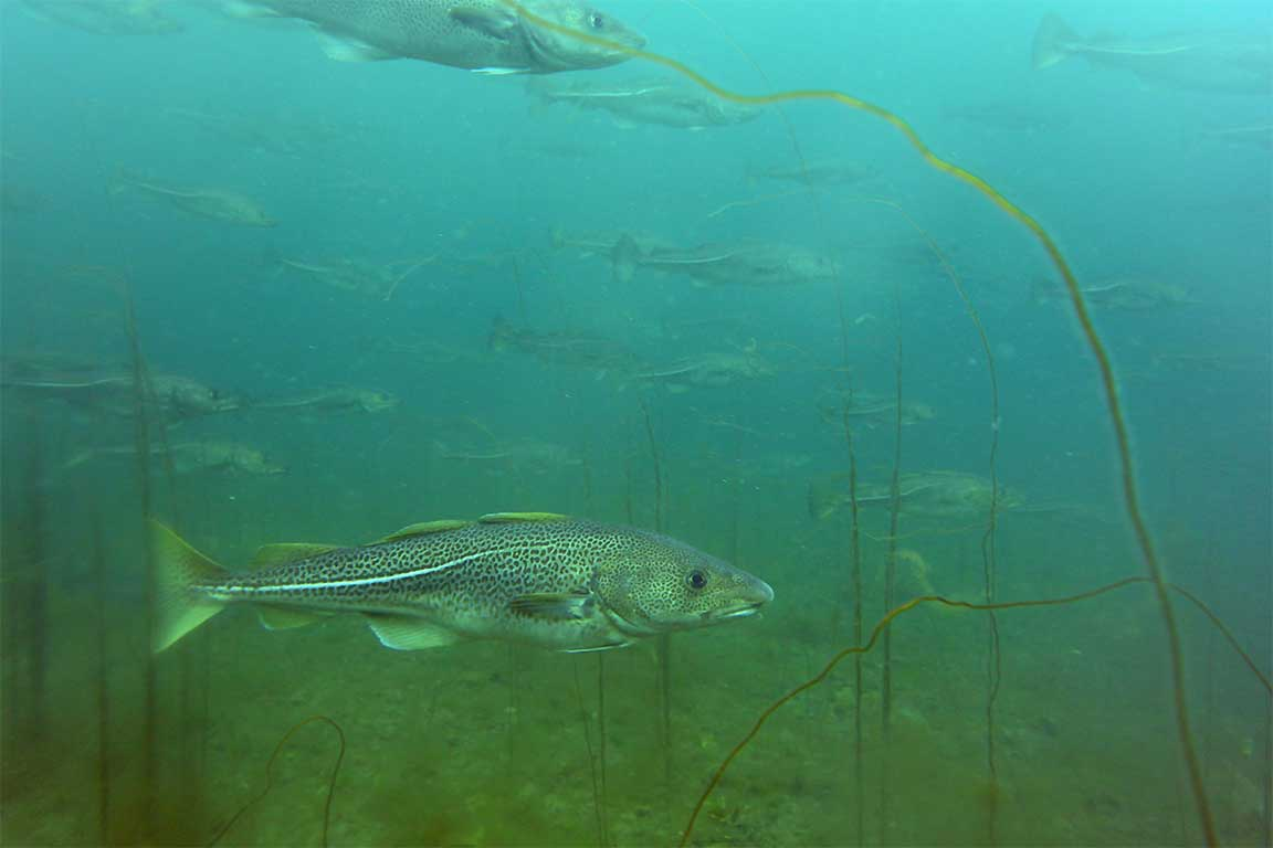 Atlantic cod. NL Divers. Copyright Fisheries and Oceans Canada.