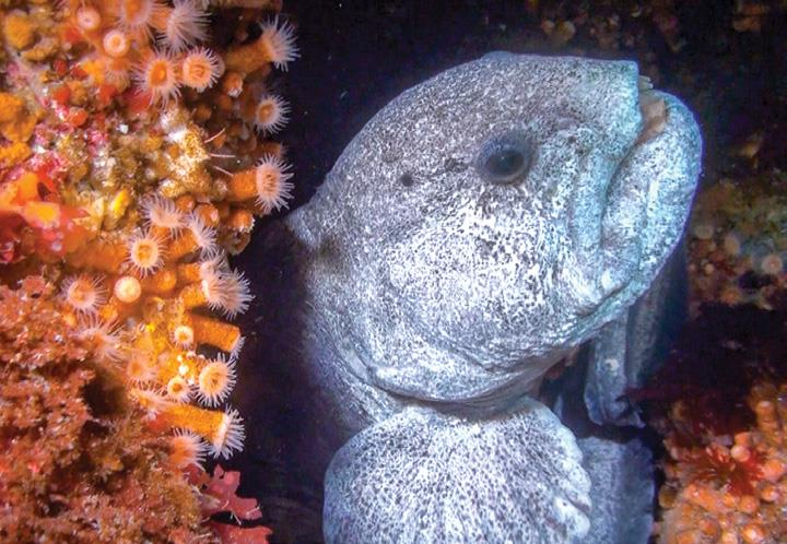 A wolf-eel peaks out of its shelter surrounded by aggregating anemones and algae. Copyright Fisheries and Oceans Canada