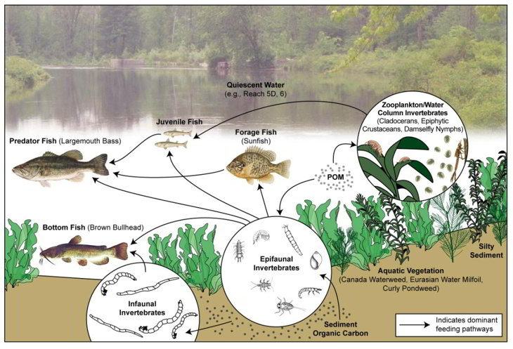 Figure 4: Example of a Pictoral Conceptual Site Model (CSM) for Bioaccumulation of Sediment Contaminants along a Freshwater Aquatic Food Chain.