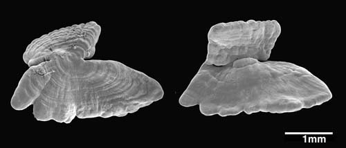 Morphology of a typical asteriscus (from a cod) evident in top and bottom views with SEM.