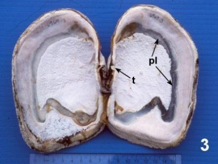 Geoduck clam (Panopea abrupta): Anatomy, Histology, Development ...