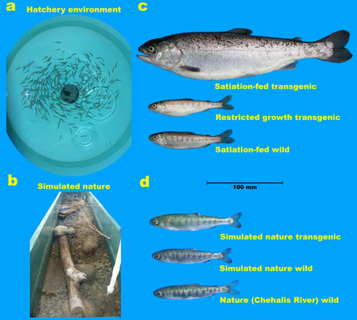 Illustration of the effect of the environment on phenotype: (a) tank environment; (b) semi-natural stream environments; (c) growth-hormone transgenic salmon (top fish) show very enhanced growth compared to non-transgenic (wild-type strain) salmon (bottom) when grown in tank environments with unlimited food supplies. Growth-hormone transgenic salmon which receive only wild-type salmon ration levels grow at normal rates (middle fish); (d) growth of growth-hormone transgenic salmon (top fish) is very greatly reduced under naturalized conditions, despite these environments supporting full growth rate of non-transgenic salmon (middle fish) that are comparable to that seen for the same strain in nature (bottom fish).