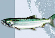 Coho Salmon in the at-sea phase (silver/green).