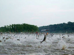 The Mississippi River in the United States is now home to several species of Asian carps, and hundreds of the invaders can be seen jumping here.