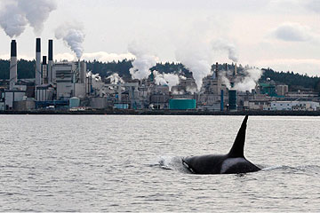 Transient killer whale T087 off the Harmac Pacific pulp mill in Northumberland Channel, British Columbia.