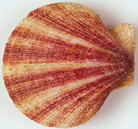 Iceland Scallop