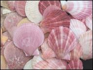 Pink and spiny scallops
