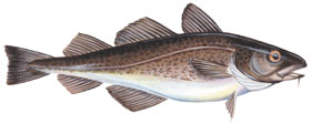Side view of an Atlantic Cod
