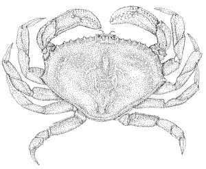Illustration of Dungeness Crab