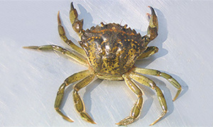 European green crab