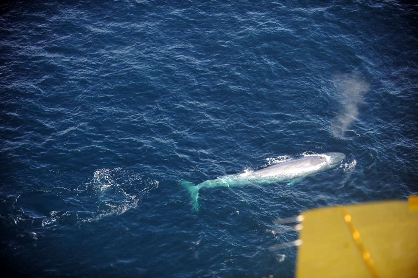 Blue whales seen by a fishery officer during an air patrol at the end of September off the coast of British Columbia