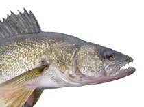 Walleye. Copyright Ontario Ministry of Natural Resources and Forestry.