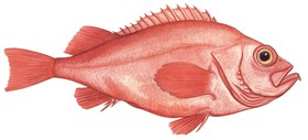 Illustration of a redfish