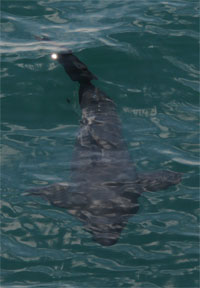 Photo: Basking Shark