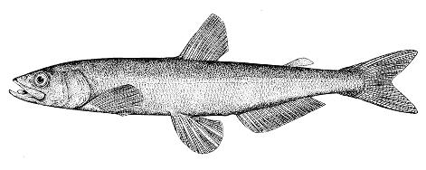 Eulachon (Pacific Population)