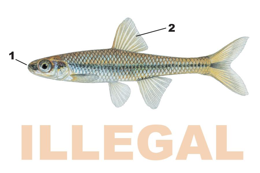 The baitfish primer