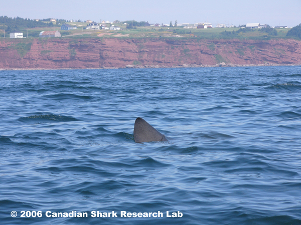 Photo of basking shark near Percé, Quebec. Photo courtesy of André and Joel Berthelot.