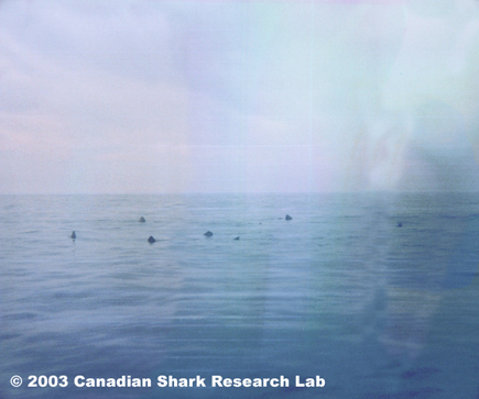 Image of basking sharks on the surface near Emerald Basin, photo courtesy of Patrick Gray.