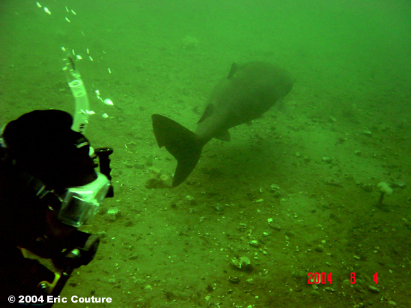 Image of a Greenland shark (Somniosus microcephalus) and diver taken in 2004 in the Baie Comeau area of Quebec.