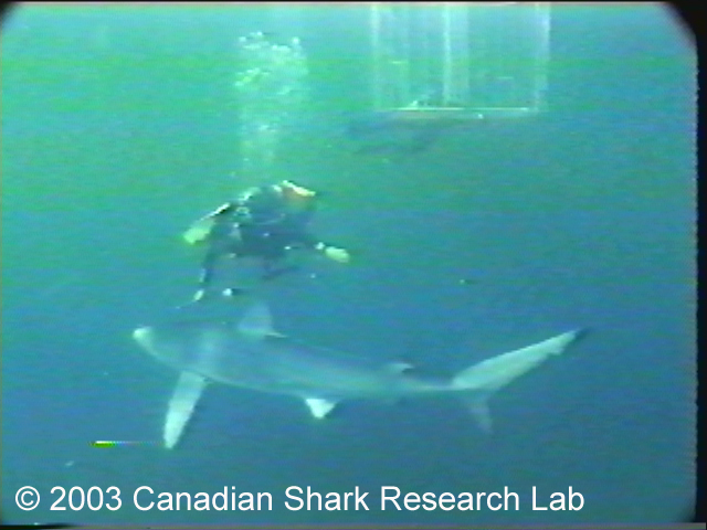 Frame from video footage showing a blue shark swimming past a scuba diver. A shark cage is visible in the background. Photo courtesy of Chris Jensen.