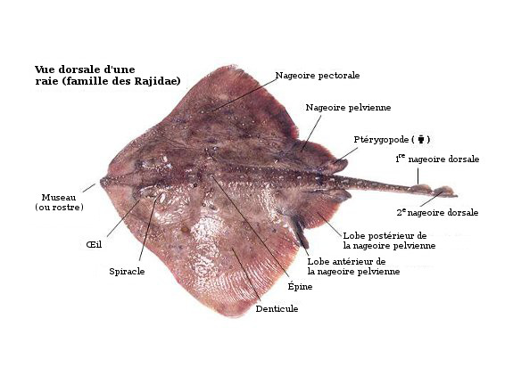 Dorsal view of skate, highlighting important anatomical points.