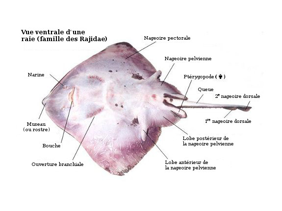 Ventral view of skate, highlighting important anatomical points.