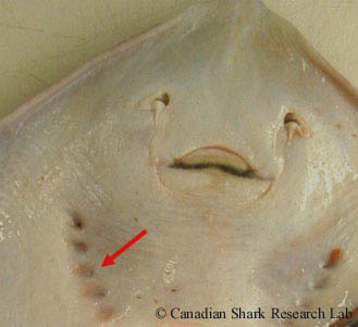 Ventral side of a mature female thorny skate (Amblyraja radiata), with the red arrow demarking the external gill openings.